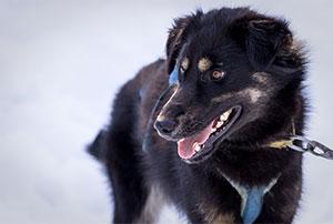 Sanka-chiens-team-AVA-Vercors